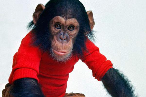 Шимпанзе Ним Шимпски