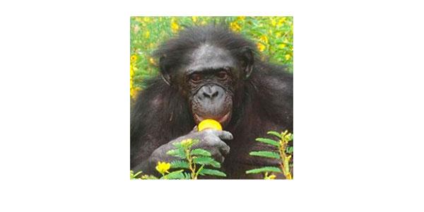 Бонобо (карликовый шимпанзе) Матата