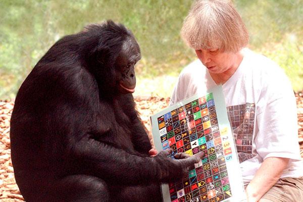 Шимпанзе Сара