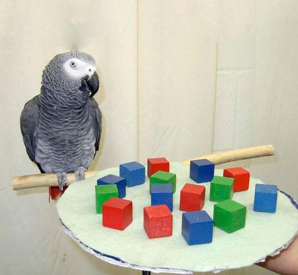 Попугай Алекс