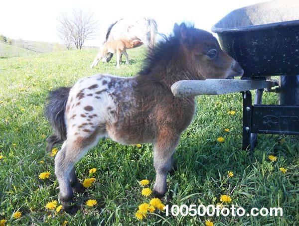 О, какая очаровательная маленькая лошадка Аппалуза