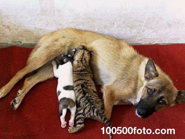 Собака, кормящая тигренка