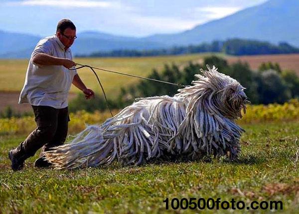Знакомьтесь, это Комондор, традиционная венгерская сторожевая собака