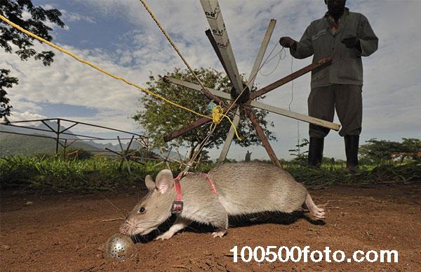 Крыс отпускают на пенсию после 4-5 лет или когда они утратили интерес к работе
