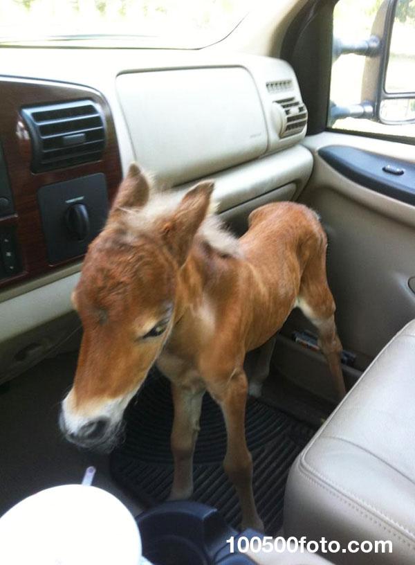 Ветеринар спасала брошенного жеребенка мини-лошади