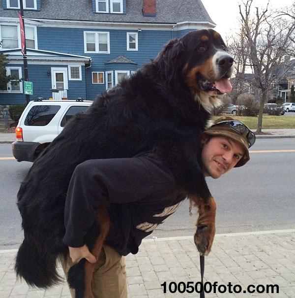 Эта собака любит контрейлерный аттракцион, хотя она великовата для этого