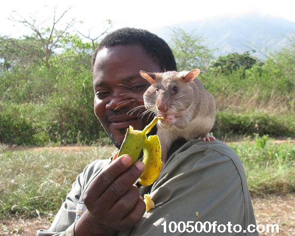 Во время своей пенсии крысы едят вкусные фрукты сколько душе угодно