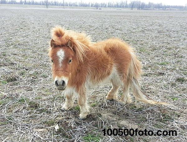 Просто карликовая мини-лошадь