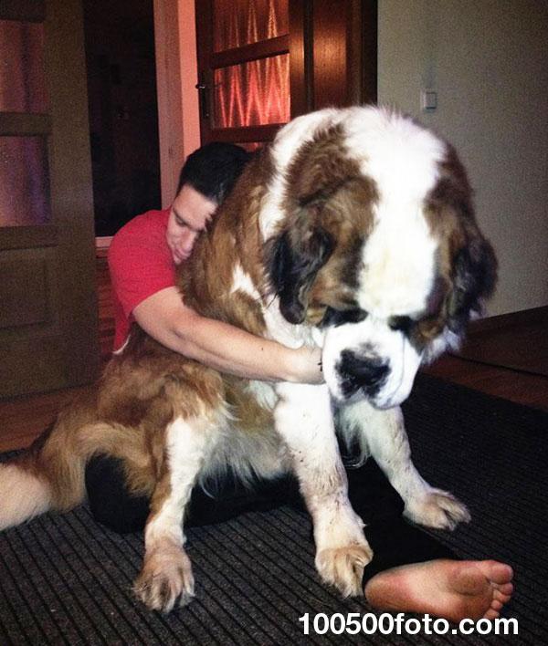 А вот еще фотография дружелюбной большой собаки. И действительно, она огромная.