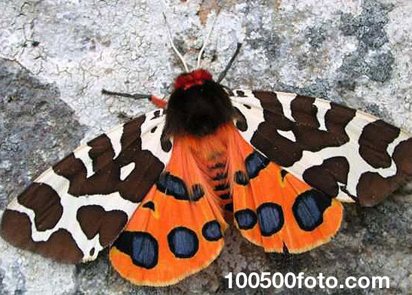 Садовый тигровый мотылек (Arctia caja)