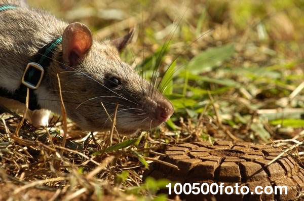 Крысы-герои помогают очистить территорию от смертоносных мин в Африке