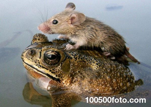 Мышка верхом на лягушке