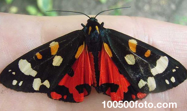 Алый тигровый мотылек (Callimorpha dominula)