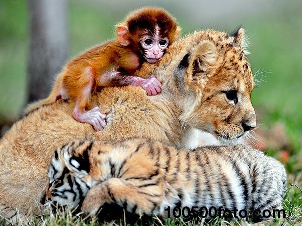 Обезьянка, львенок и тигренок