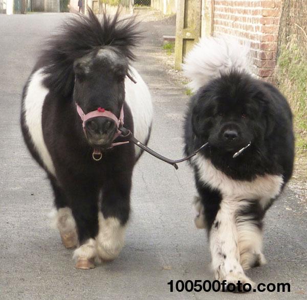 Это крошечная лошадка или гигантская собака?