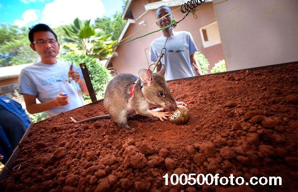 В среднем для взрыва мины необходим вес, который составляет 5 и более кг, а большинство крыс весят не больше 1,5 кг
