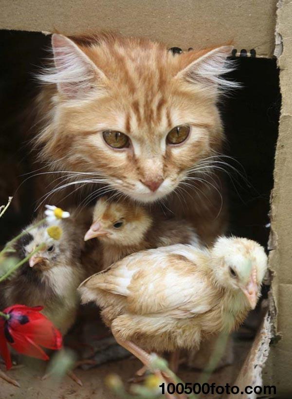 Кот и птенцы