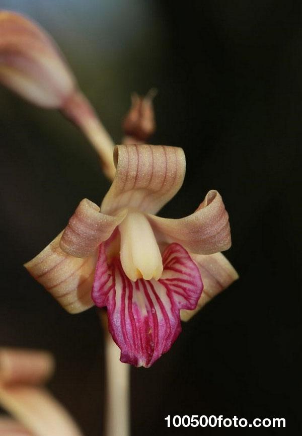 Орхидея Коулмана coralroot