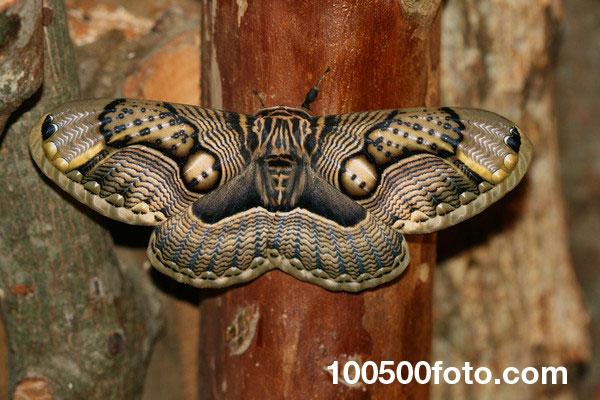 Моль Брамея (Brahmaea wallichii)