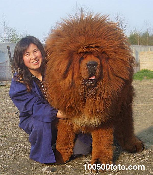 Король собак