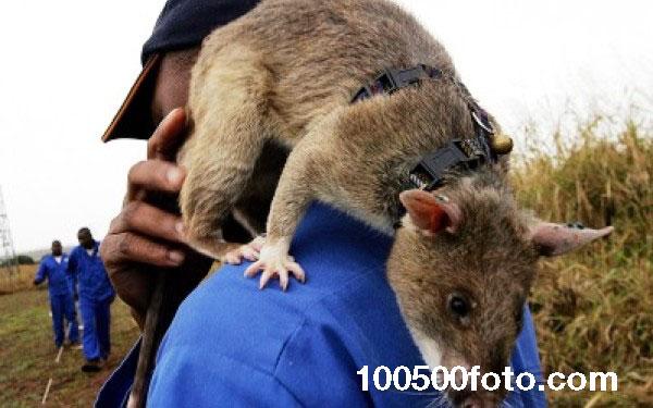 Крысы-герои более эффективны, чем люди-саперы