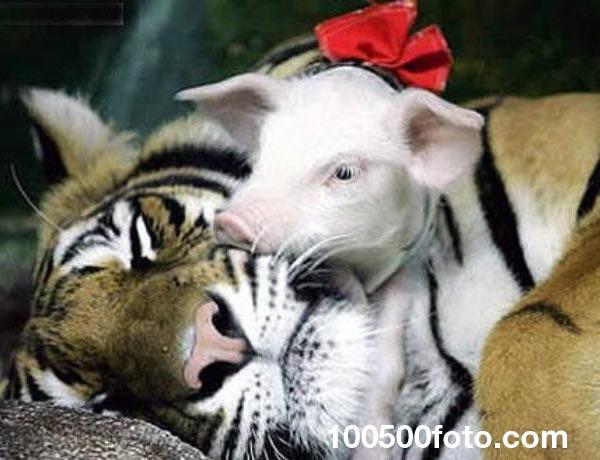 Тигр и поросенок