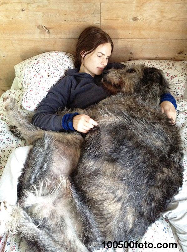 Ирландский волкодав, являющийся превосходным кроватным псом