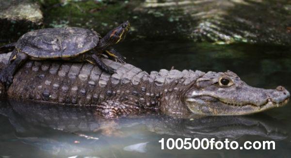 Черепаха верхом на аллигаторе