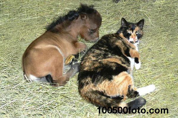 Миниатюрная лошадка и кот