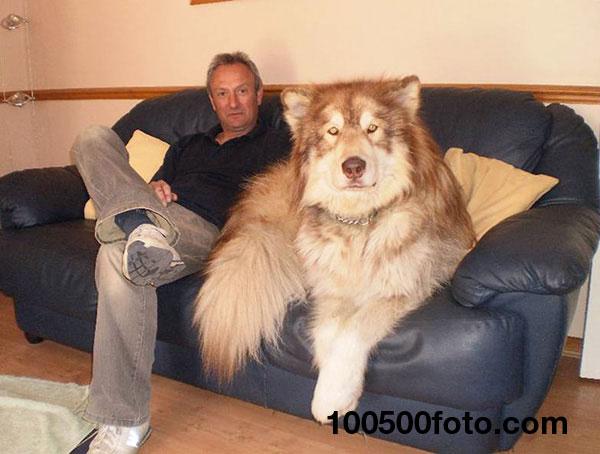 Взгляните на эту большую собаку