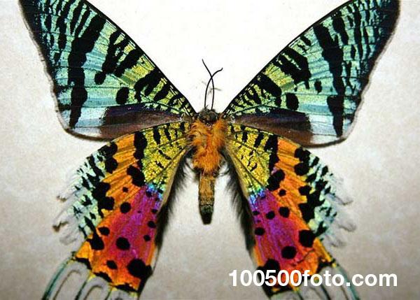 Урания мадагаскарская (Chrysiridia rhipheus)