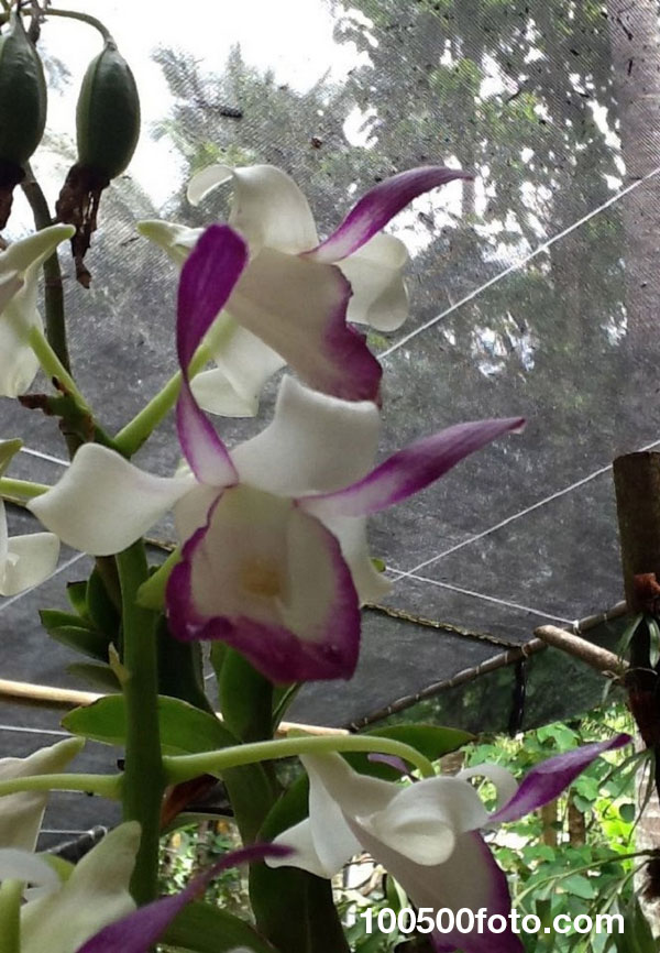 9-Bull-Orchid.jpg