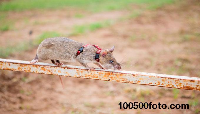 Если крыса получит рак кожи, ее оперируют