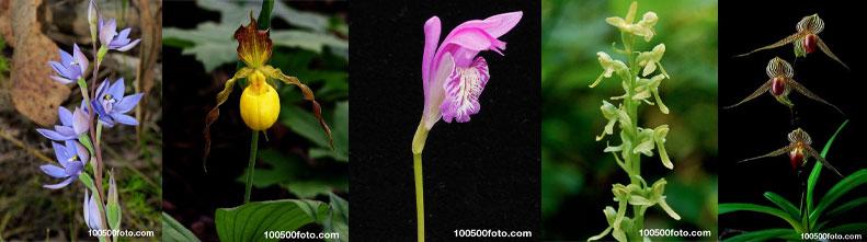 Самые красивые и редкие орхидеи в мире