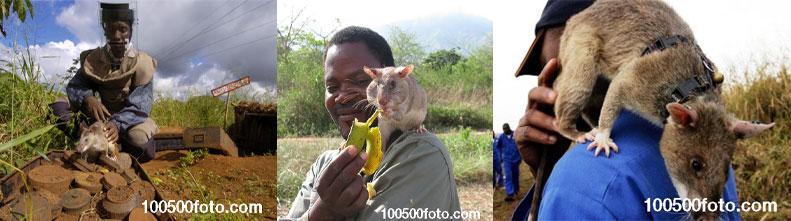 Героические крысы, вынюхивающие мины в Африке, смогли бы спасти тысячи человеческих жизней по всему миру