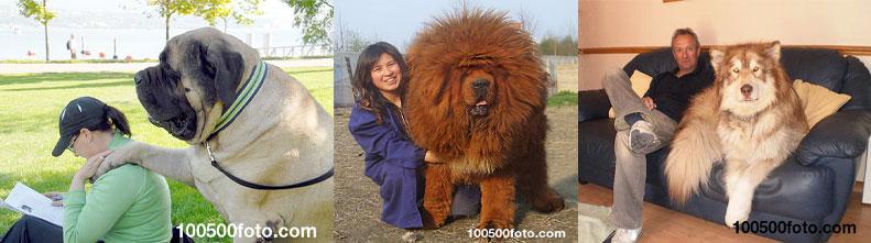 Большие собаки, не осознающие насколько они велики