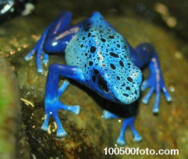 Голубая лягушка-древолаз