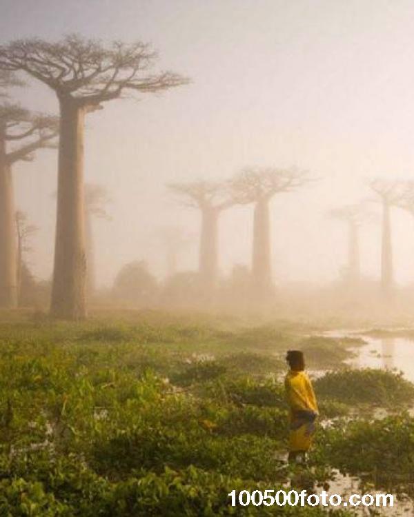 Аллея баобабов, которым по 800 лет (Мадагаскар)