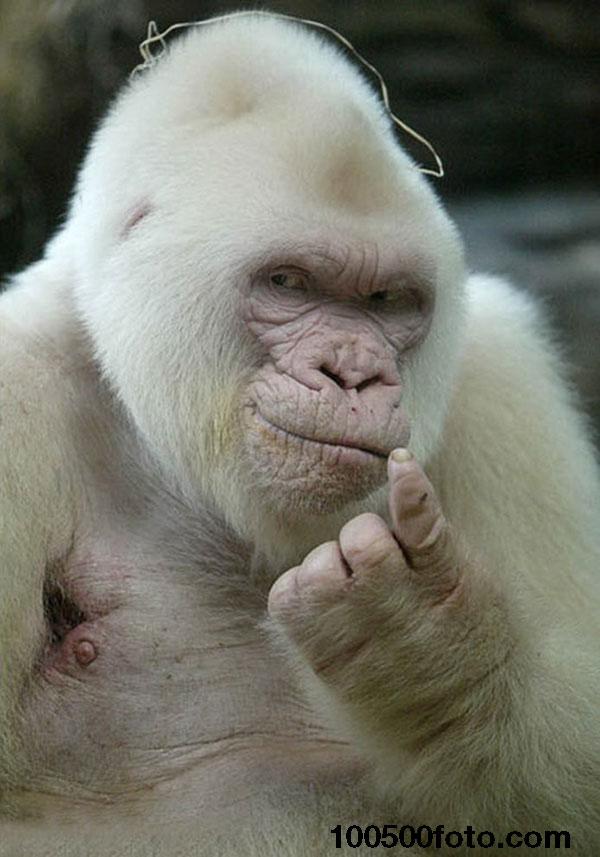 Обольстительная горилла-альбинос