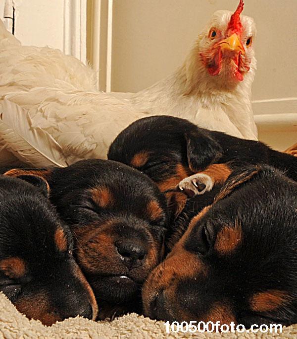 Любовь к щенкам