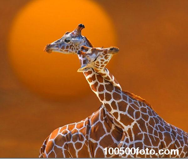 Любовь жирафов