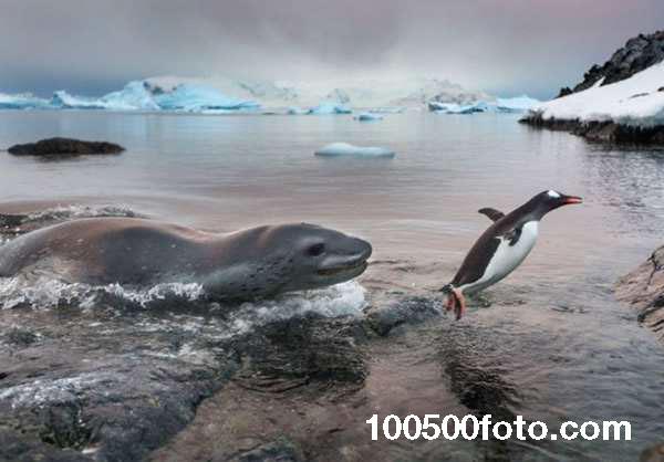 Как весело поплавать вместе или не весело (Антарктика)