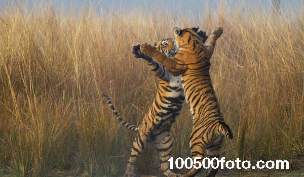 Танцующие тигры (Индия)