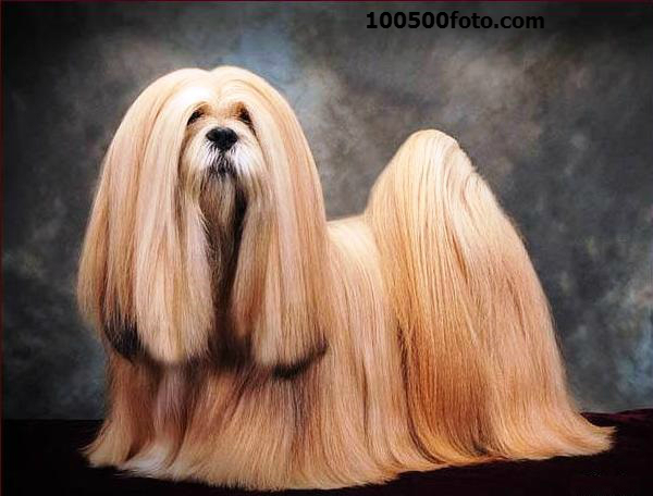Лхаса апсо Древняя порода, выведенная в Тибете монахами. Там таких собак считали талисманами, отгоняющими злых духов и несчастья. Долгое время вывозить этих собак из Тибета было запрещено, и впервые в Европе они появились только в конце 19 века.