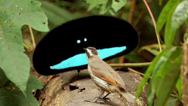 Превосходная райская птичка 1