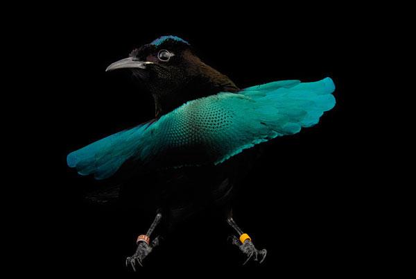 Превосходная райская птичка 2