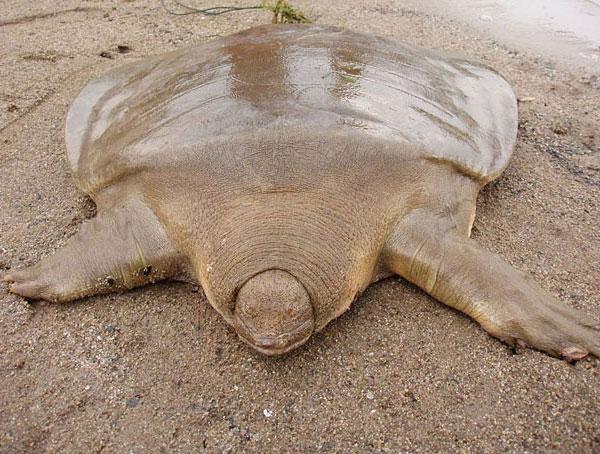 Огромная трехногая черепаха