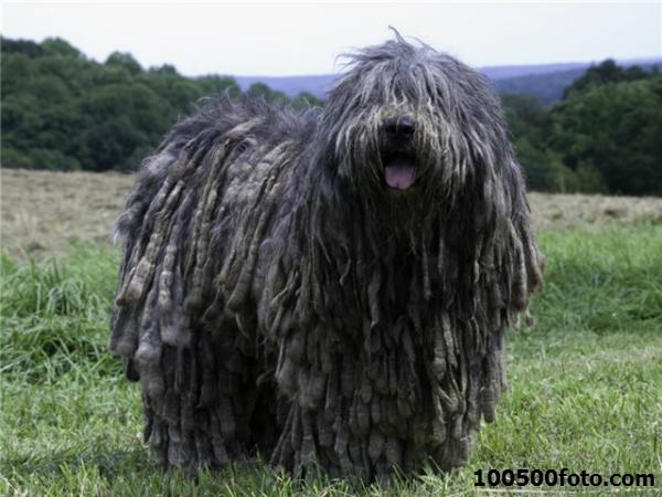 Бергамаско Также давняя итальянская, но уже  пастушья порода. Своеобразные дреды позволяли собаке маскироваться в овечьем стаде для эффективной защиты от волков.
