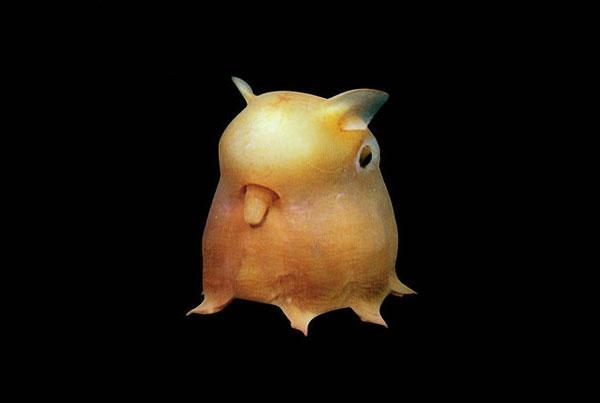 Осьминог Дамбо Октопус  1