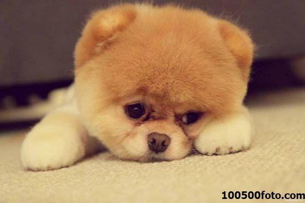 Померанский шпиц Одна из самых популярных и к тому же дорогих пород собак. Такое внимание вызвано конечно внешним видом – красивой лисьей шубкой, а также покладистым характером. Идеально для комнатной собачки.